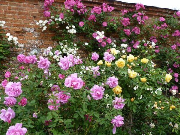 Roses, Mottisfont