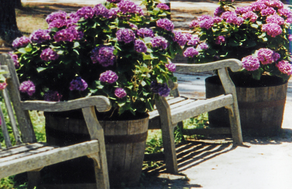 Hydrangea and Chairs, Middleton Place