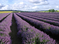 Medium cotswold lavender original