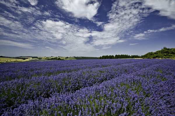 Cotswold Lavender, Worcestershire