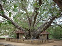 Medium buddhist bo tree sri lanka garden original