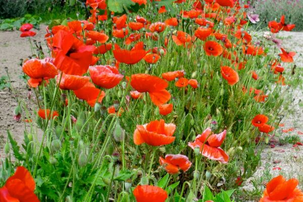 Poppies, Bacon's Castle