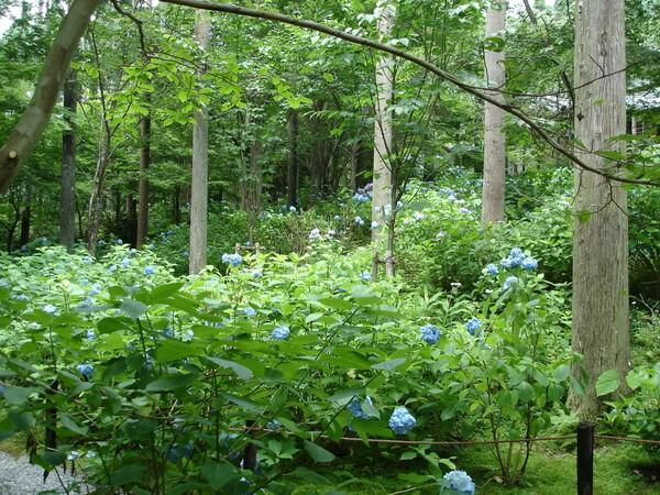 Hydrangeas in July, Sanzen-in