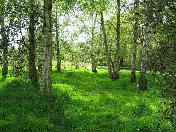 Birch Trees, Jodrell Bank
