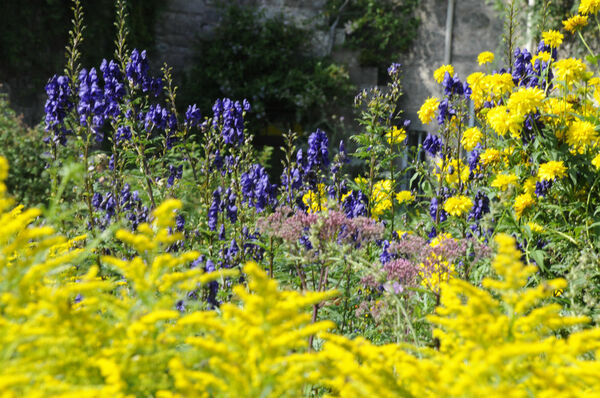 Aconitum and Solidago, Cawdor Castle