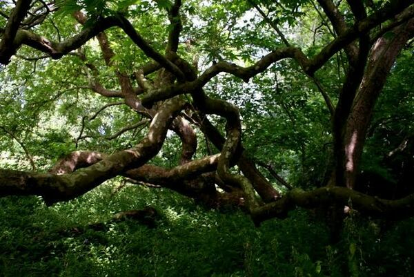 Knotted branches, Woolbeding Gardens
