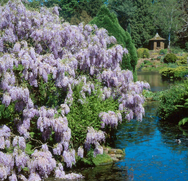 Lake and wisteria, Sandringham