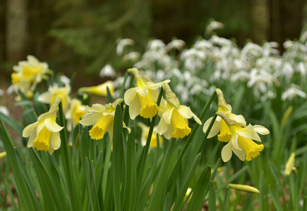 Narcissus pseudonarcissus, Evenley Wood Garden