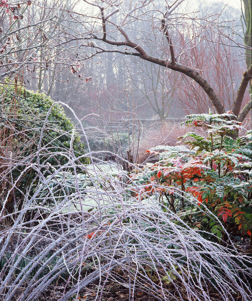 Frost on Rubus cockburiensis, Barnsdale Gardens