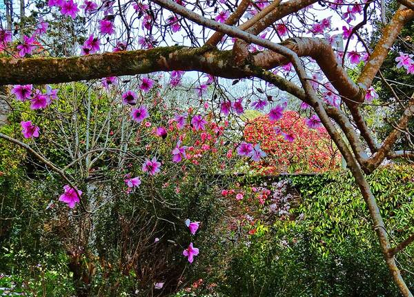 Caerhays Garden