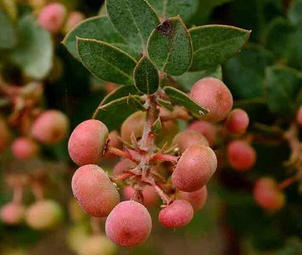 Manzanita berries Rancho Santa Ana Botanic