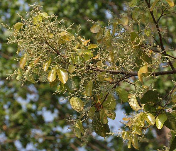 Sal (Shorea robusta)