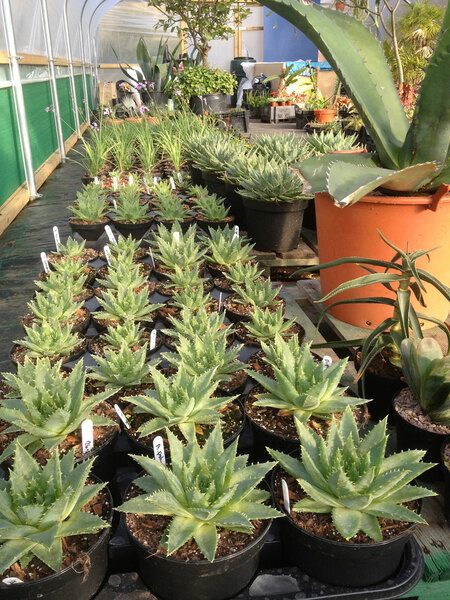 Succulents in the polytunnel, Blue Nurseries