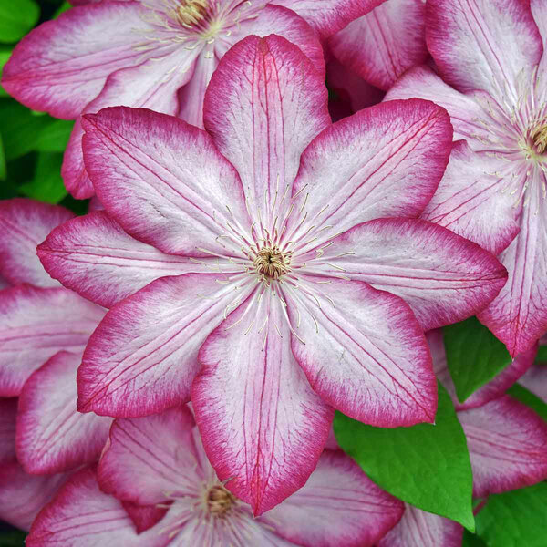 Liberty, Thorncroft Clematis
