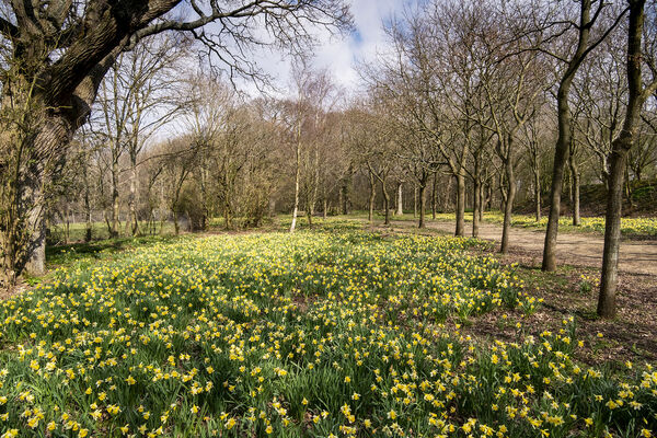 Daffodils, Bates Green Garden