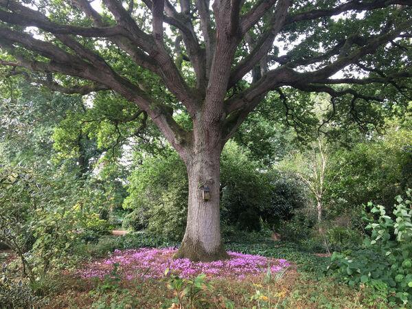 Cyclamen, Bates Green Garden