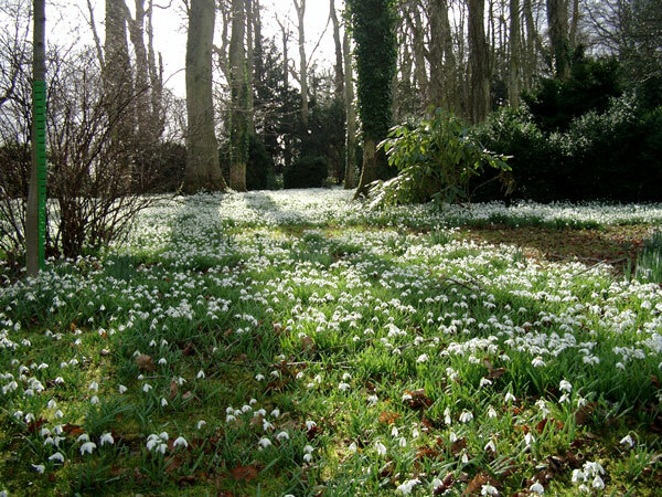 Snowdrops at Floors Castle Gardens