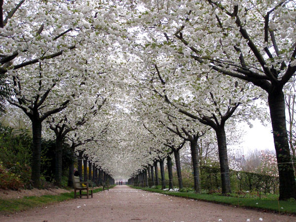 Cherry Walk at Jardins de Valloires