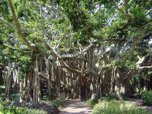 Banyan Tree at Cypress Gardens, Florida