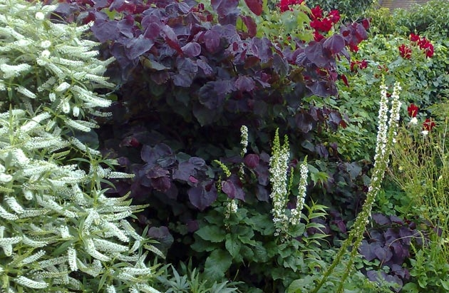 Cercis canadensis and white Verbascum
