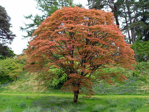 Maple Tree at Achnacloich