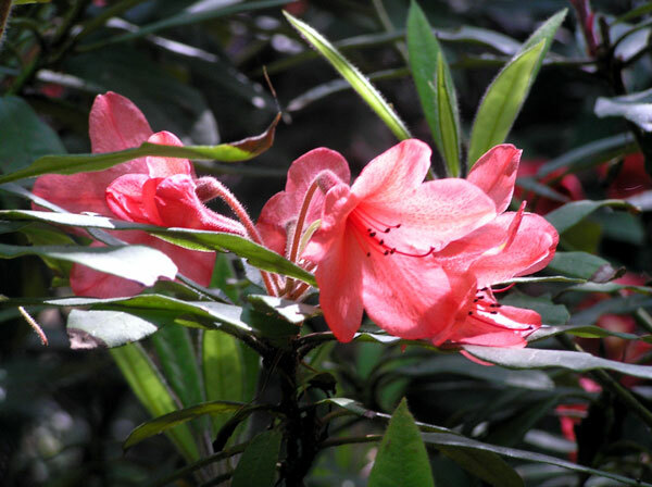 Rhododendron, Howick Hall Gardens