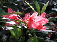 Medium howick hall rhododendron original