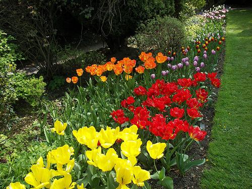 Tulips, Constable Burton Hall Garden