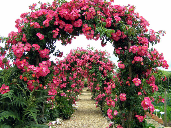 Roses in the Walled Garden, Houghton Lodge