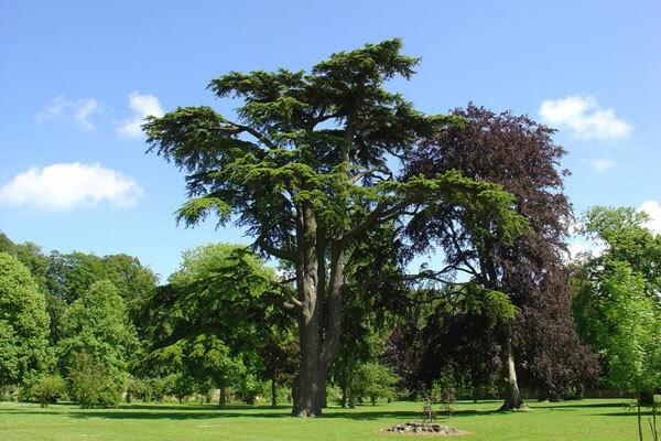 Cedar of Lebenon, Chateau de Miromesnil