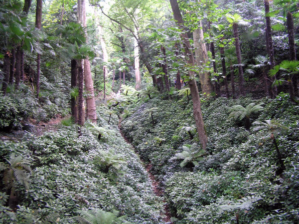Villa Carlotta, Tree Ferns