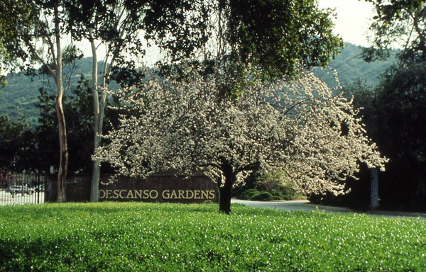 Flowering Plum at the Entrance, Descanso Gardens