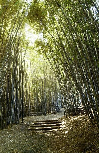 Bamboo, Hamilton Gardens