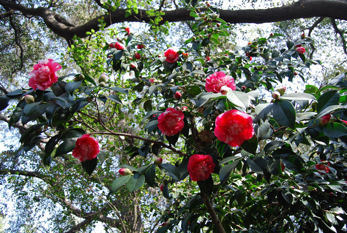 Camellias in Descanso Gardens