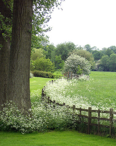 Cow Parsley, Titsey Place