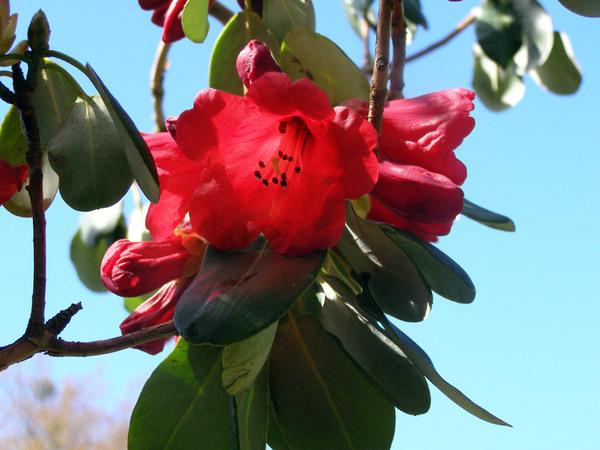 Rhododendron Thomsonii, Furzey Gardens