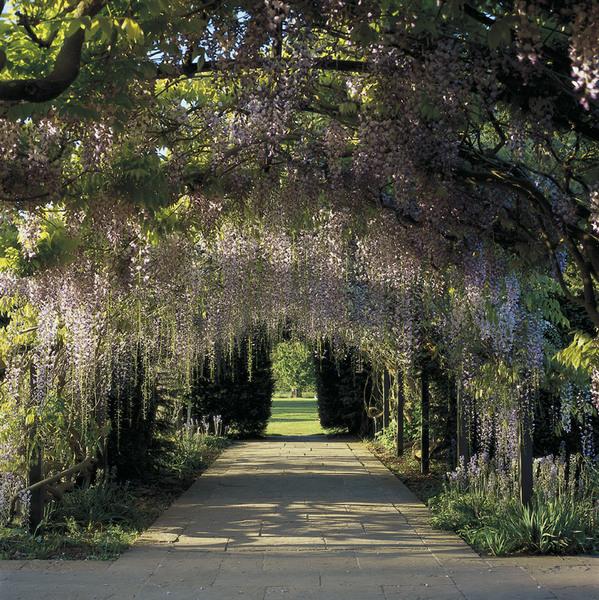 Wisteria Arch, Hampton Court Garden