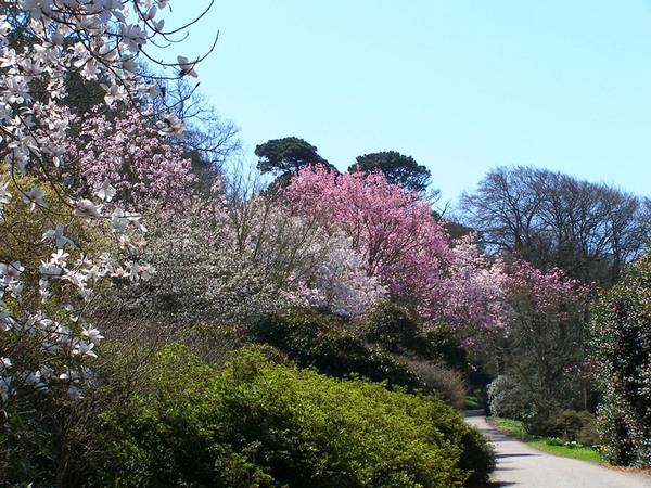 Himalayan Magnolias, Caerhays Castle Garden