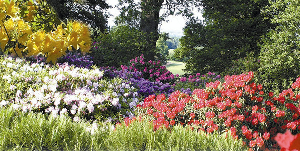 Rhododendrons, Bowood Gardens