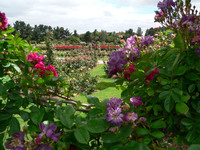 Medium victoria state rose garden original