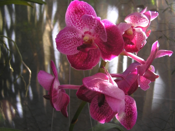 Large selby orchid wanda original
