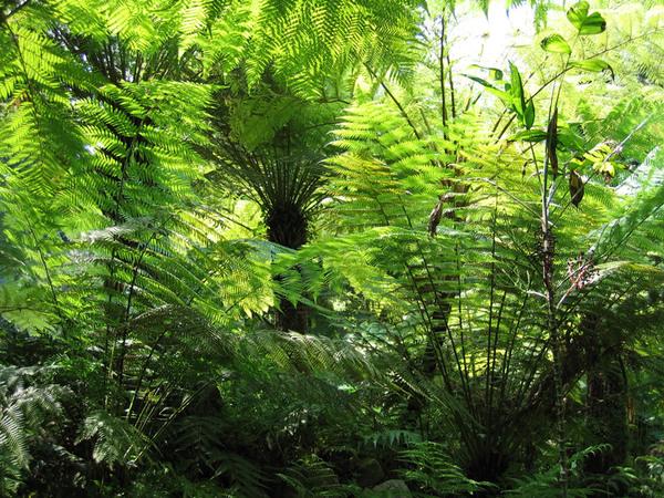 Ferns, Orto Botanico di Napoli