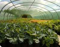 Medium coblands nurseries berkshire original
