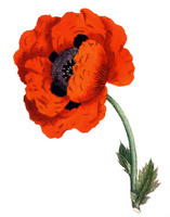 Medium eastern poppy botanical original