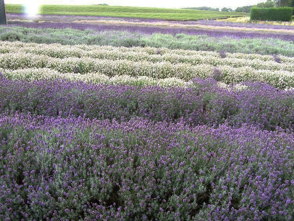 Snowshill Lavender, Worcestershire