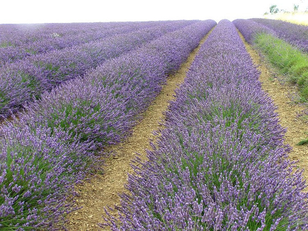 Field at Snowshill Lavender