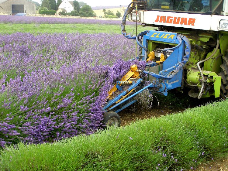 Harvesting at Snowshill Lavender
