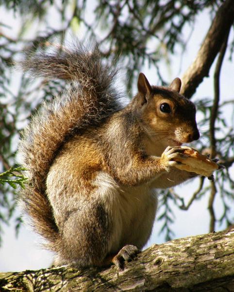 Squirrel, Villa Melzi