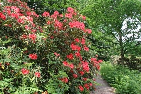 Rhododendron, Wakehurst Place Garden