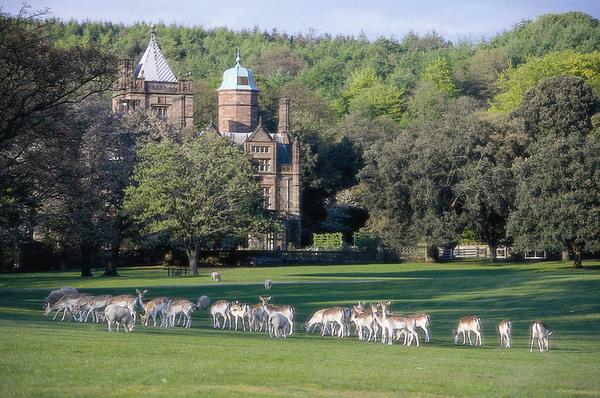 Fallow Deer, Halker Hall Garden